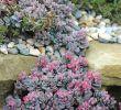 Ingwer Im Garten Einzigartig Pixie Stauden Garden In 2020