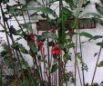 Ingwer Im Garten Genial 32 Luxus Ingwer Im Garten Einzigartig