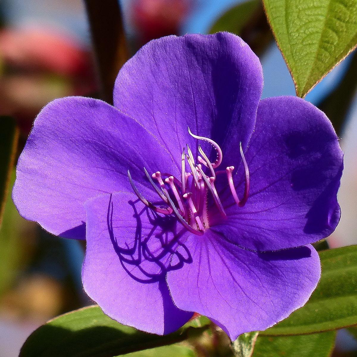 1200px Flower in Horton Plains 1