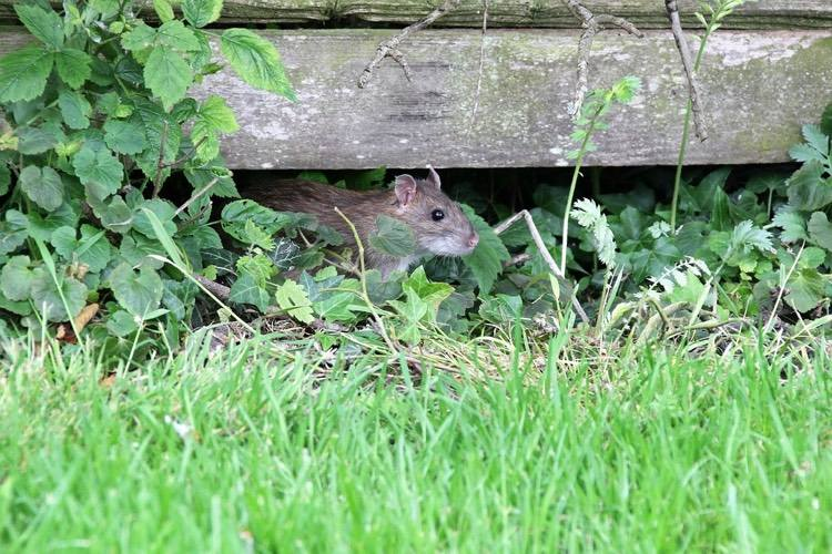 Löcher Im Garten Ratten Best Of Marderbau Im Garten Erkennen