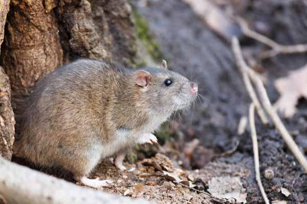 Löcher Im Garten Ratten Elegant Ratten Bekämpfen Effektive Rattenbekämpfung In Haus & Garten