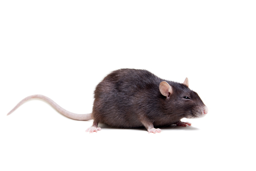 Löcher Im Garten Ratten Frisch Garten Imposing Rattenlöcher Im Garten Innerhalb Ratten
