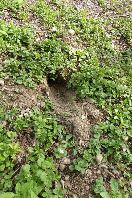 Löcher Im Garten Ratten Genial Marderbau Im Garten Erkennen