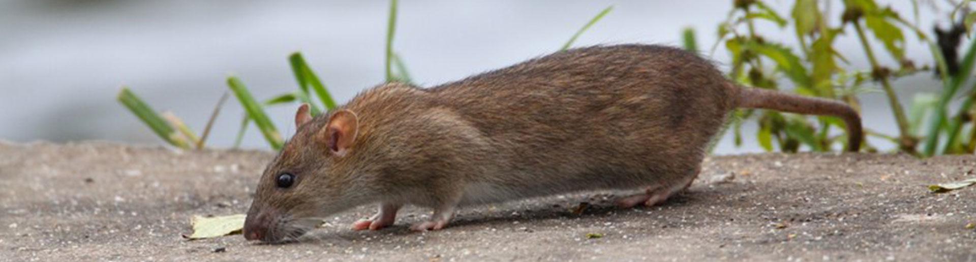 Löcher Im Garten Ratten Genial Ratten Im Garten Kammerjäger Ratgeber