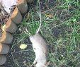 Löcher Im Garten Ratten Schön Löcher Im Garten Ohne Erdhaufen