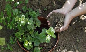 46 Genial Minze Im Garten