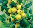Moderner Kleiner Garten Schön Stachelbeeren Im Garten Pflegen – Gesund Und Lecker
