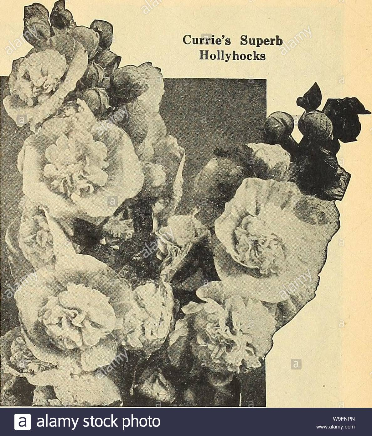 archive image from page 58 of curries garden annual 63rd curries garden annual 63rd year spring 1938 curriesgardenann19curr 4 year 1938 currie brothers co milwaukee wis page 55 curries superb hollyhocks the seed we offer has been saved from named vari eties of every known shade of color and can be con fidently re mended seed sown in june or july will produce plants for blooming the next summer h p new hollyhocks triumphthis new variety brings out an entirely distinct strain growing 4 to 5 feet high and is of a branching habit all the stems being studded with prettily W9FNPN
