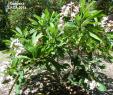 My Garden Gardena Elegant Gardena Tree