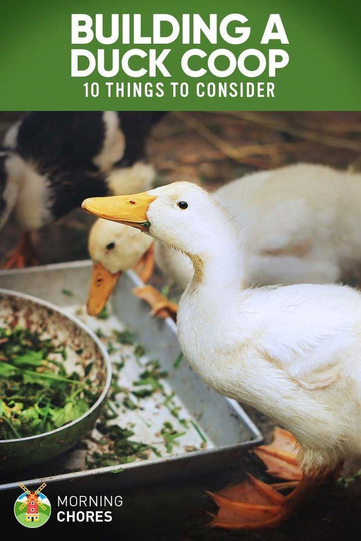 Permakultur Garten Anleitung Genial 10 Important Things to Consider when Building A Duck Coop