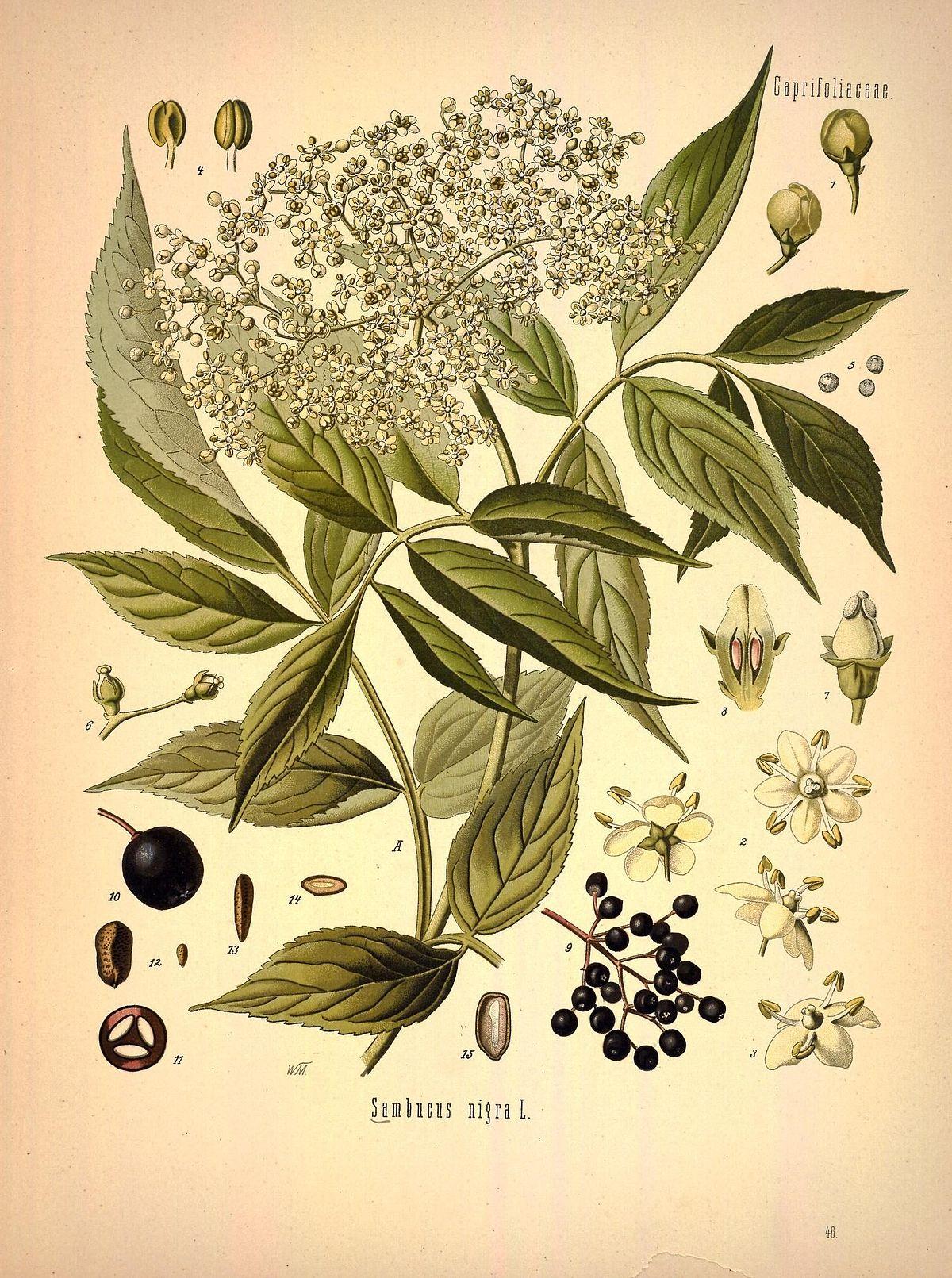 Pflanze Mit G Genial File Köhler S Medizinal Pflanzen In Natur Reuen
