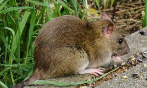 79 Inspirierend Ratten Im Garten Vertreiben