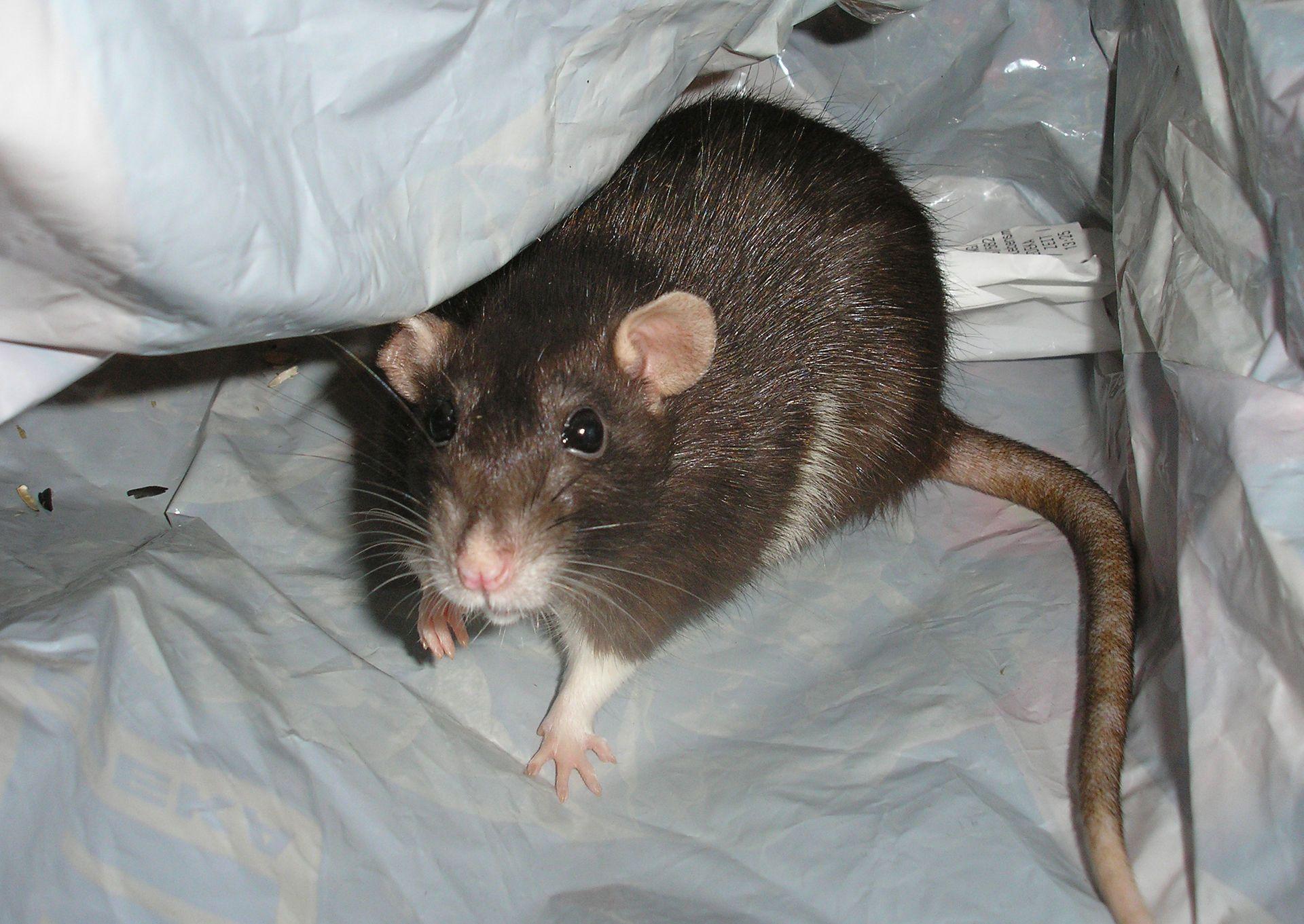 Ratten Im Garten Was Tun Inspirierend Tipps Gegen Ratten Im Haus so Hat Plage Schnell Ein