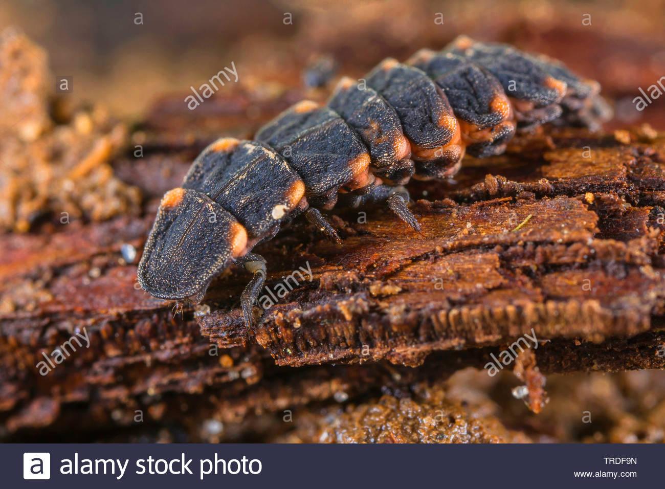 gemeiner leuchtkaefer kleiner leuchtkaefer kleines gluehwuermchen johanniskaefer johannis kaefer johanniswuermchen johanniswuermchen lamprohiza TRDF9N