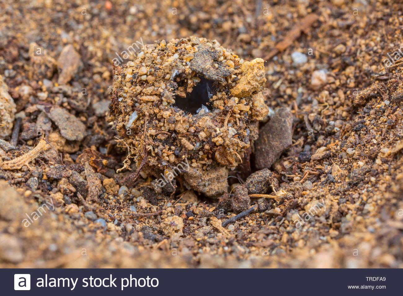 geflecktfluegelige ameisenjungfer geflecktfluegelige ameisen jungfer euroleon nostras kokon mit erdklumpen und steinchen arnt kokon mit schlup TRDFA9