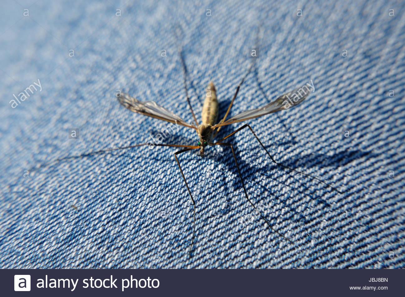 schnake tipula lunata sitzt auf einer jeans JBJ8BN