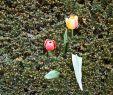 Tulpen Im Garten Best Of Anne sophie Stolz Fotografie Karlsruhe › Tales From the