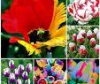 Tulpen Im Garten Best Of Garten Blumen & Pflanzen Selten Regenbogen Tulpen