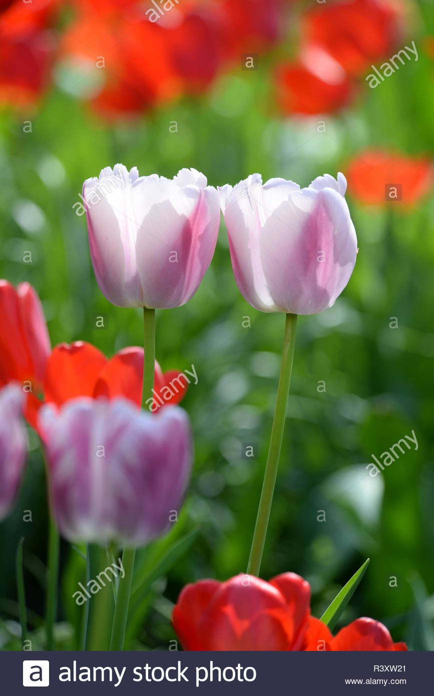 tulpen tulpe tulipa rot garten gartenblume gartenblumen blumengarten zierpflanze zierpflanzen liliengewchse pflanze pflanzen blume blumen blte blten wei hellrosa violett R3XW21