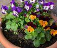 Tulpen Im Garten Best Of Stiefmüetterli Blühen Auch Noch Im Herbst Wunderschön Im
