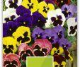 Tulpen Im Garten Best Of Stiefmütterchen Weltriesen