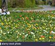 Tulpen Im Garten Best Of Tulpenwiese Stock S & Tulpenwiese Stock Alamy