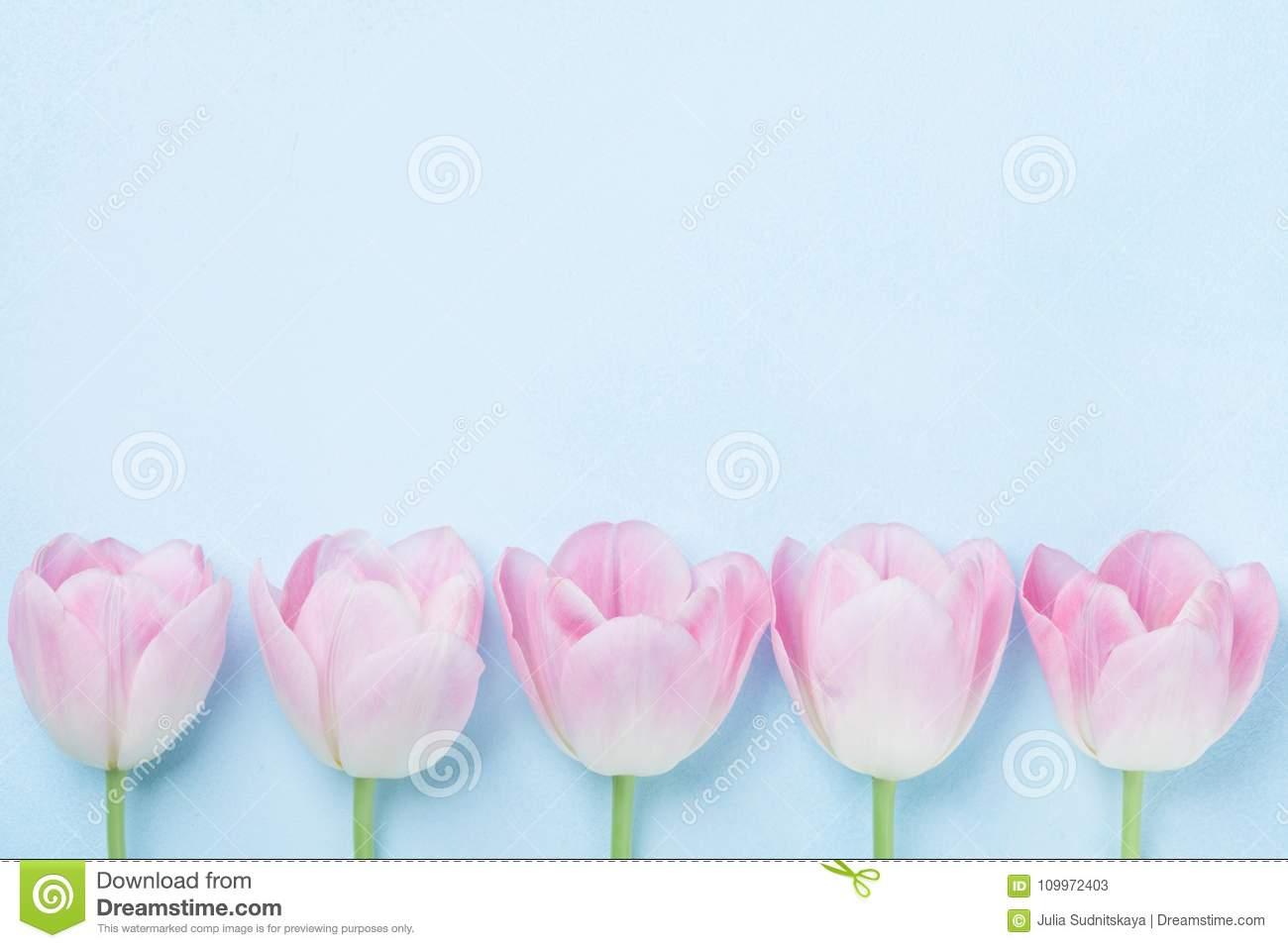 rosa tulpen blühen auf draufsicht des blauen hintergrundes modepastellfarben flache lageart frühlingsfrauen tageskarte