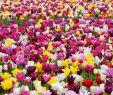 Tulpen Im Garten Einzigartig Tulpen Pflanzen Wann ist Der Beste Zeitpunkt Und Wie Gehe