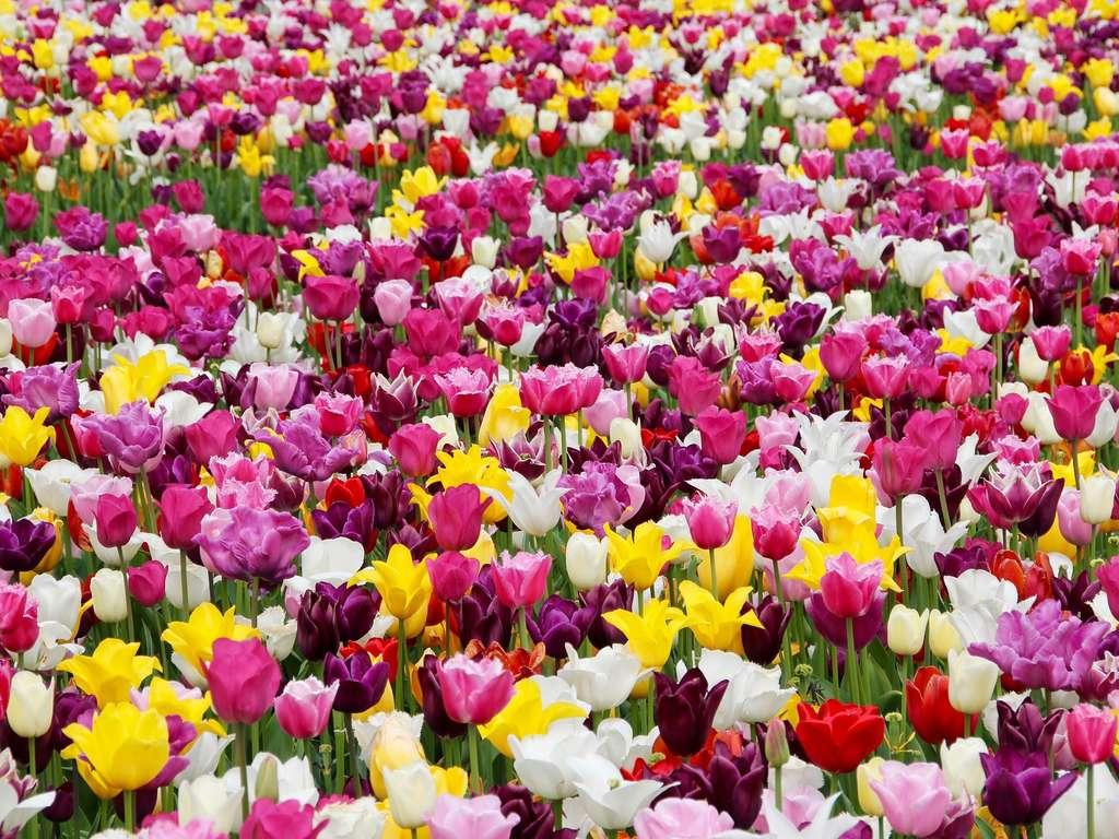 Tulpen Wann Pflanzen