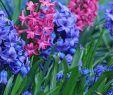 Tulpen Im Garten Elegant Hyazinthen Pflegen Und Zum Blühen Bringen – Tipps & Tricks