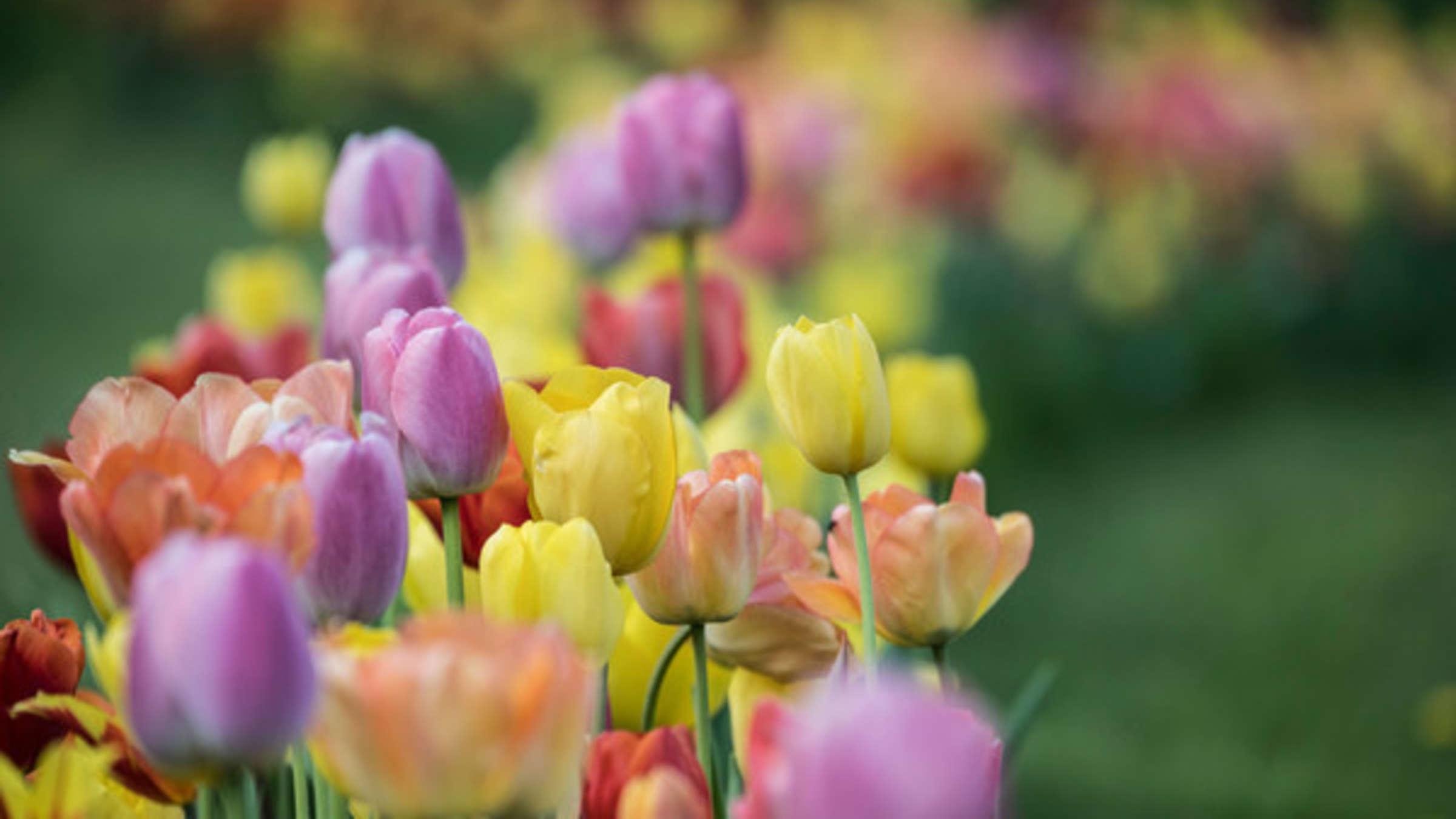 tulpen pflanzen OWV21zlMGea