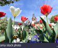Tulpen Im Garten Frisch Seligenstadt Stock S & Seligenstadt Stock Page