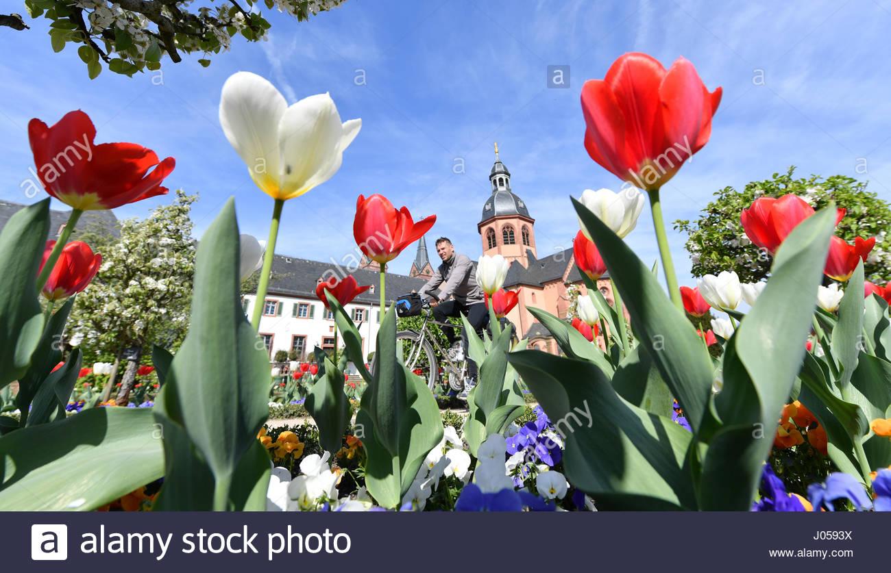 seligenstadt germany 10th apr 2017 tulpen blhen am im garten J0593X