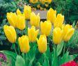 Tulpen Im Garten Inspirierend Fosteriana Tulpe Candela 10 Stück Tulipa Fosteriana Candela