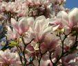 Tulpen Im Garten Inspirierend Garten Magnolia soulangiana Tulpen Magnolie 125 150cm Blumen