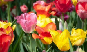 73 Schön Tulpen Im Garten