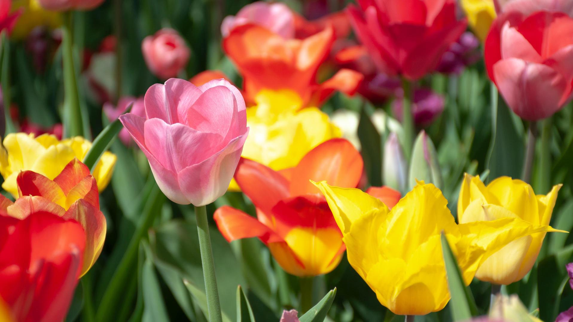 Tulpen Im Garten Inspirierend Tipps Tulpen Im Garten Richtig Pflanzen Und Pflegen