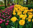 Tulpen Im Garten Luxus Instagram Posts at Keukenhof Lisse Holland