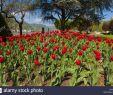 Tulpen Im Garten Luxus Tulpen Bäume Stock S & Tulpen Bäume Stock Alamy