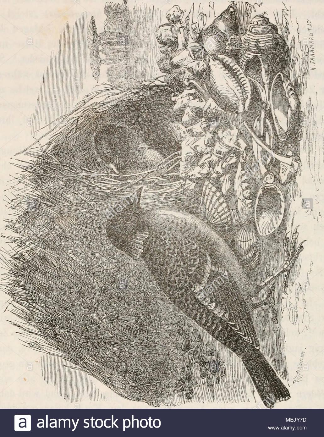 abstammung des menschen und geschlechtliche zuchtwahl fig 16 kragenvogel cmamydcra macxilafa mit seiner laube aus brehm thierleben haushalni irgend etwas von der erde anfzupicken bis zuletzt das weibchen sanften muthes auf dasselbe zugehtquot captain stokes hat lebensweise und spielhiluserquot einer andern art nmlich des grossen laubenvogels beschrieben hier sah er wie derselbe vor und rckwrts flog eine muschelschale abwechselnd von der einen dann von der andern seite aufnahm und selbe in seinem schnabel haltend in pforte eintratqu MEJY7D