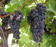 Weinanbau Im Garten Frisch Anbaugebiete Weintrauben