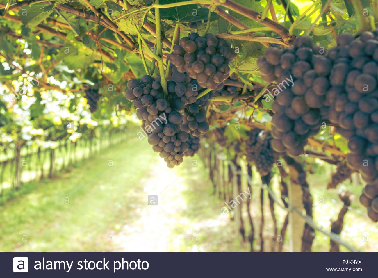rot reife trauben in einem weinbaugebiet und pjknyx