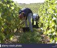 Weinanbau Im Garten Schön Anbaugebiete Weintrauben
