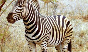 22 Neu Zebra Steckbrief