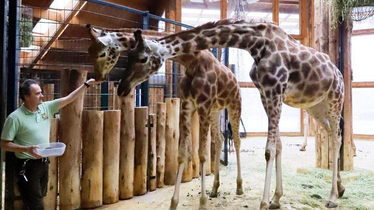Zoologischer Garten Magdeburg Elegant Magdeburg Giraffen Verbot Für Den Zoo Sachsen Anhalt