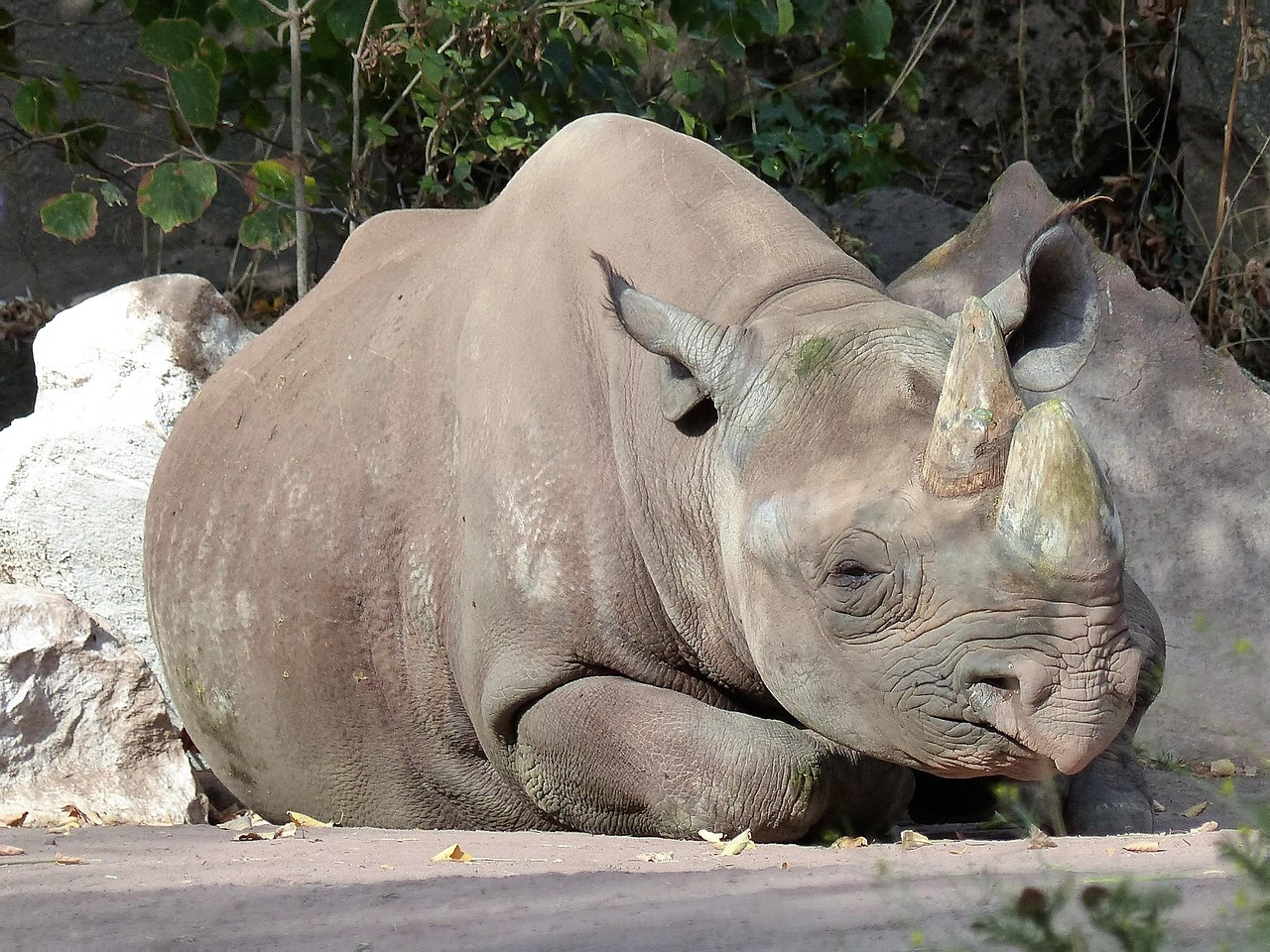 rhino 1280