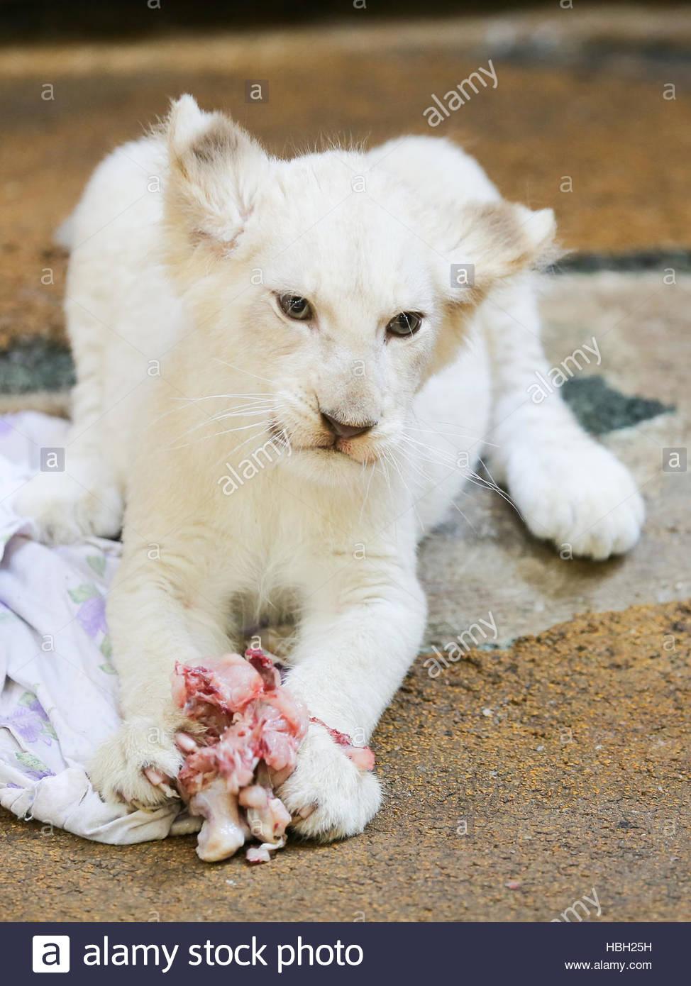 Zoologischer Garten Magdeburg Neu White Female Lion Cub In Zoo Magdeburg Stock